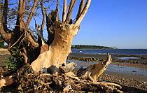 Tree stump on beach with incoming tide, Bembridge, Isle of Wight, England, june  -  Marcus Webb/ FLPA
