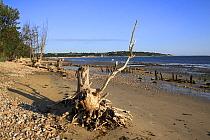Tree stumps on beach with incoming tide, Bembridge, Isle of Wight, England, june  -  Marcus Webb/ FLPA