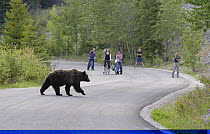 Grizzly Bear (Ursus arctos horribilis) adult, walking across road with people watching, Rocky Mountains, Alberta, Canada, june  -  Bill Coster/ FLPA