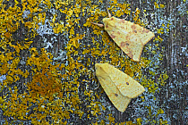 Common Sallow (Xanthia icteritia) normal (upper) and flavescens (lower) forms, two adults, resting on lichen, Essex, England  -  Bill Coster/ FLPA
