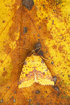 Pink-barred Sallow Moth (Xanthia togata) adult, resting on leaf, Essex, England  -  Bill Coster/ FLPA