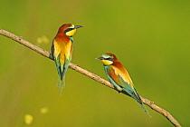 European Bee-eater (Merops apiaster) adult pair, perched on twig, Bulgaria, may  -  Winfried Wisniewski/ FLPA