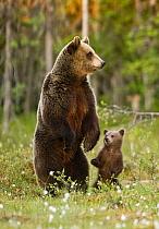 European Brown Bear (Ursus arctos arctos) adult female with cub, standing on back legs, in taiga forest, Finland, june  -  Jules Cox/ FLPA
