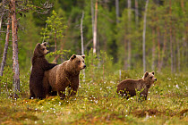 European Brown Bear (Ursus arctos arctos) adult female with two cubs, standing in taiga forest, Finland, june  -  Jules Cox/ FLPA