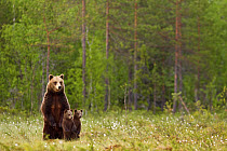 European Brown Bear (Ursus arctos arctos) adult female with two cubs, standing on back legs, in taiga forest habitat, Finland, june  -  Jules Cox/ FLPA