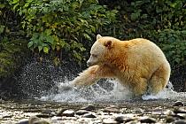 American Black Bear (Ursus americanus kermodei) 'Spirit Bear' white morph, adult, fishing for salmon at river in temperate coastal rainforest, Great Bear Rainforest, Gribbell Island, British Columbia,...  -  Ignacio Yufera/ FLPA