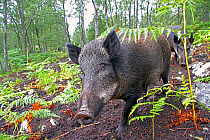 Eurasian Wild Boar (Sus scrofa) two sows, used for bracken control in fenced area of woodland, Dundreggan Estate, Glen Moriston, Inverness-shire, Highlands, Scotland, August  -  Desmond Dugan/ FLPA
