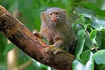 Pygmy Marmoset (Cebuella pygmaea) adult, sitting on branch (captive)  -  Jurgen and Christine Sohns/ FLPA