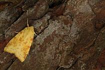 Common Sallow (Xanthia icteritia) adult, resting on pine bark, Sheffield, South Yorkshire, England, September  -  Paul Hobson/ FLPA