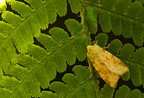Common Sallow (Xanthia icteritia) adult, resting on fern frond, Sheffield, South Yorkshire, England, September  -  Paul Hobson/ FLPA