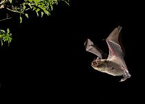 Brandt's Bat (Myotis brandtii) adult, in flight towards ivy at night, Sussex, England, October  -  Hugh Clark/ FLPA
