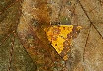 Barred Sallow (Tiliacea aurago) adult, resting on leaf, Norfolk, England, October  -  Neil Bowman/ FLPA