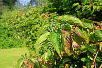 Common Dogwood (Cornus sanguinea) close-up of leaves and unripe berries, growing in woodland, Vicarage Plantation, Mendlesham, Suffolk, England, July  -  Marcus Webb/ FLPA