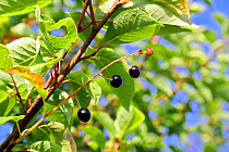Bird Cherry (Prunus padus) close-up of ripe fruit, growing in woodland, Vicarage Plantation, Mendlesham, Suffolk, England, July  -  Marcus Webb/ FLPA