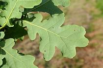 Common Oak (Quercus robur) close-up of leaf underside, growing in woodland, Vicarage Plantation, Mendlesham, Suffolk, England, July  -  Marcus Webb/ FLPA
