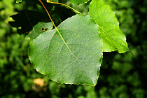 Hybrid Black Poplar (Populus x canadensis) close-up of leaf, growing in woodland, Vicarage Plantation, Mendlesham, Suffolk, England, July  -  Marcus Webb/ FLPA