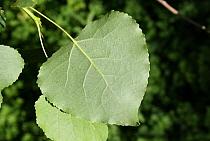 Hybrid Black Poplar (Populus x canadensis) close-up of leaf underside, growing in woodland, Vicarage Plantation, Mendlesham, Suffolk, England, July  -  Marcus Webb/ FLPA