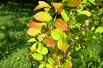 European Spindle (Euonymus europaeus) close-up of leaves, growing in woodland, Vicarage Plantation, Mendlesham, Suffolk, England, July  -  Marcus Webb/ FLPA