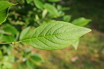 European Spindle (Euonymus europaeus) close-up of leaf, growing in woodland, Vicarage Plantation, Mendlesham, Suffolk, England, July  -  Marcus Webb/ FLPA