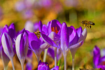 Western Honey Bee (Apis mellifera) two adults, workers feeding on Crocus (Crocus sp) flowers in garden, Powys, Wales, February  -  Richard Becker/ FLPA