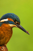 Common Kingfisher (Alcedo atthis) adult male, close-up of head and breast, with mud on beak from digging nest tunnel, Worcestershire, England, March  -  Steve Young/ FLPA