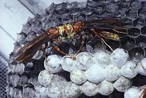 Social wasps divide food bolus at nest (Polistes cavapyta) Argentina, South America  -  Premaphotos/ npl