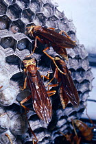 Social wasps offer food bolus to larvae in cells (Polistes cavapyta) Argentina  -  Premaphotos/ npl