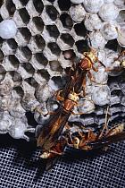 Dominant social wasp chews wing of subordinate (Polistes cavapyta) Argentina  -  Premaphotos/ npl
