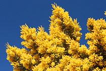 Mimosa (Acacia dealbata) flowers, Spain  -  Juan Manuel Borrero/ npl