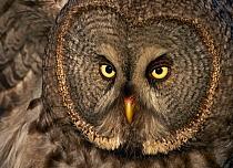 Head portrait of Great Grey Owl (Strix nebulosa)Kalajoki, Finland, July  -  Markus Varesvuo/ npl