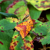 Pink-barred sallow moth (Xanthia togata) camouflaged amongst fading, diseased leaves, Annaloughan Bog, County Tyrone, Northern Ireland, UK, August  -  Robert Thompson/ npl