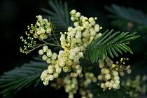 White mimosa tree (Acacia dealbata) flowers, Madeira, March 2009  -  WWE/ Radisics/ npl