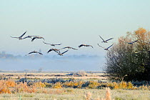 Flock of juvenile Common, Eurasian cranes (Grus grus) recently released by the Great Crane Project onto the Somerset Levels and Moors flying over pastureland on a frosty, misty morning Somerset, UK, O...  -  Nick Upton/ npl