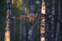 Great Grey owl (Strix nebulosa) flying through woodlands, Kalajoki, Finland, Scandinavia, July  -  Markus Varesvuo/ npl