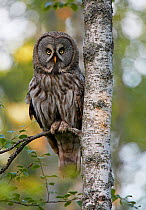 Great Grey owl (Strix nebulosa) perched on Birch tree branch in woodland, Kalajoki, Finland, Scandinavia, July  -  Markus Varesvuo/ npl
