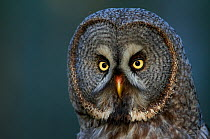 Great Grey owl (Strix nebulosa) head portrait, Kalajoki, Finland, Scandinavia, July  -  Markus Varesvuo/ npl