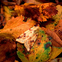 Sallow moth (Xanthia icteritia) camouflaged on leaf litter, Lackan Bog, County Down, Northern Ireland, UK, August  -  Robert Thompson/ npl