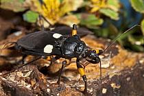 African Twin Spotted Assassin Bug (Platymeris biguttata) close up Captive from Africa  -  Rod Williams/ npl