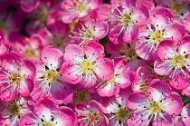 English, Midland hawthorn (Crataegus laevigata) close-up of flowers, UK  -  Georgette Douwma/ npl