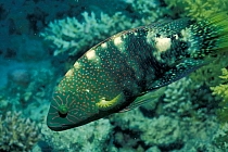 Abudjubbe's wrasse fish (Cheilinus abudjubbe) Egypt, Red Sea  -  Georgette Douwma/ npl