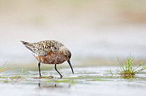 Curlew Sandpiper (Calidris ferruginea) wading and foraging in shallow casotal waters, Kalajoki, Finland, July  -  Markus Varesvuo/ npl