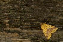 Pink-barred sallow moth (Xanthia togata) resting on dead wood, Sheffield, England, UK, October  -  Paul Hobson/ npl