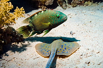 Abudjubbe wrasse (Cheilinus abudjubbe) endemic species, with a Bluespotted ribbontail ray (Taeniura lymna) digging in sandy bottom, hoping to catch any escaping prey Egypt, Red Sea  -  Georgette Douwma/ npl