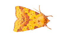 Pink-barred Sallow moth (Xanthia togata) photographed in mobile field studio on a white background The National Forest, Leicestershire, UK September  -  Alex Hyde/ npl
