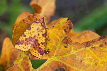 Pink-barred Sallow moth (Xanthia togata) camouflaged on a fallen oak leaf The National Forest, Leicestershire, UK September  -  Alex Hyde/ npl