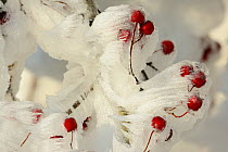 Hoarfrost on hawthorn (Crataegus) fruits in winter, Vosges, France, December  -  Fabrice Cahez/ npl