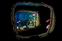 View of a steering wheel inside a Bedford OYC water tanker 3 ton lorry, from another Bedford OYC truck, deep inside a hold of the wreck of HMS Thistlegorm Fish are Red Sea soldierfish (Myripristis mur...  -  Alex Mustard/ npl