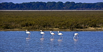 Greater flamingos (Phoenicopterus ruber) in wetland habitat, Donana National Park, Andalusia, Spain, March  -  Pascal Tordeux/ npl