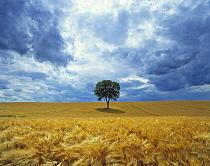 Walnut (Juglans regia) in field of ripe barley before a storm, Ribemont, Picardy, France.