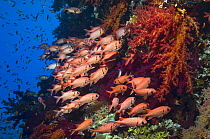 Red Soldierfish (Myripristis murdjan) sheltering in soft corals. Egypt, Red Sea.
